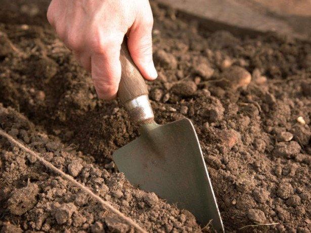 Як садити кінзу насінням і правильно доглядати за нею для отримання хорошого врожаю?