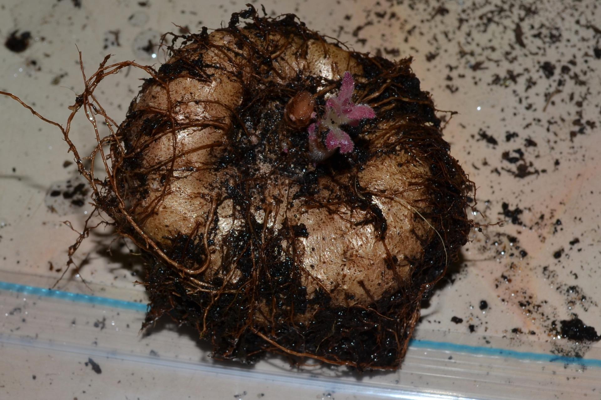 Як підготувати глоксинію до зими, щоб отримати бурхливе цвітіння влітку