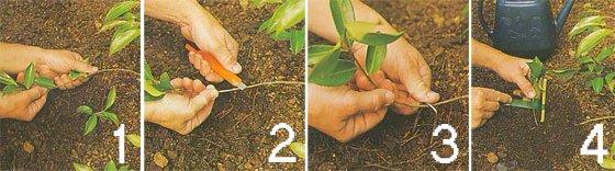 Розмноження винограду найефективнішим способом-живцями