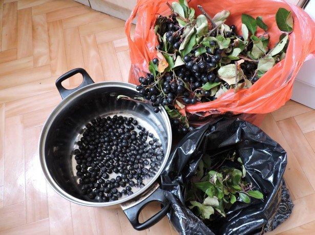 Коли збирати чорноплідну горобину для домашніх заготовок