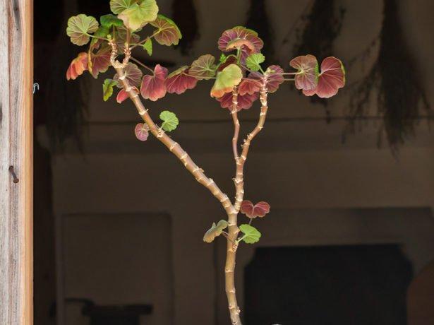Формування красивого куща герані: осіння обрізка і своєчасне прищипування
