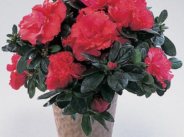 Азалія: вирощуємо яскраву красуню в домашніх умовах