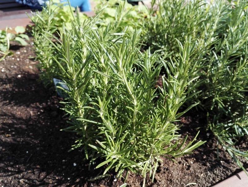 Економний город: купила і посадила одну рослину пряних трав, а виростила десять