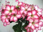 пустельна троянда: вирощування адениума в домашніх умовах