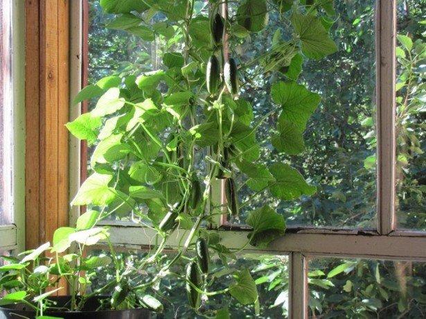 Ароматні домашні огірочки-ростимо на підвіконні і на балконі
