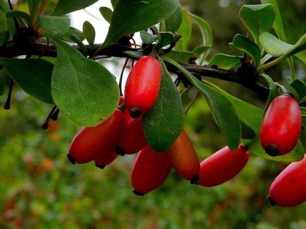 Барбарис-розмноження насінням, відводками і живцюванням
