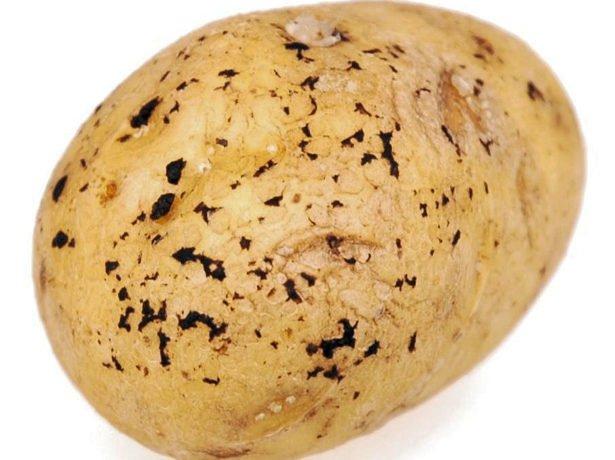 Сорт адретта: рекомендації з вирощування та догляду за картопляною королевою
