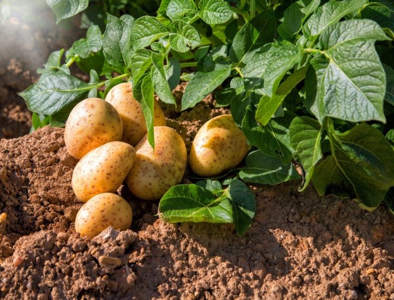 7 рослин, які не переносять добрива з золи