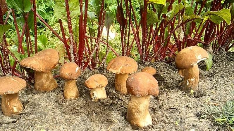 Які гриби найлегше виростити на дачі без теплиці і субстрату