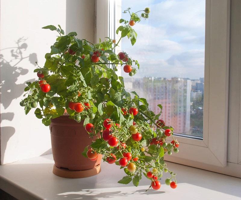 5 потрібних господині овочів, які можна виростити прямо в квартирі