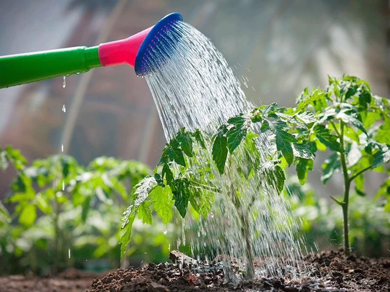 Покращуємо смак томатів і лікуємо від фітофторозу: 3 способи використання кухонної солі