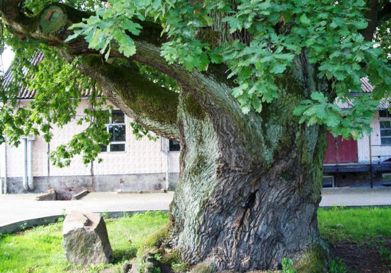 8 дерев біля будинку, яких прикмети радять остерігатися