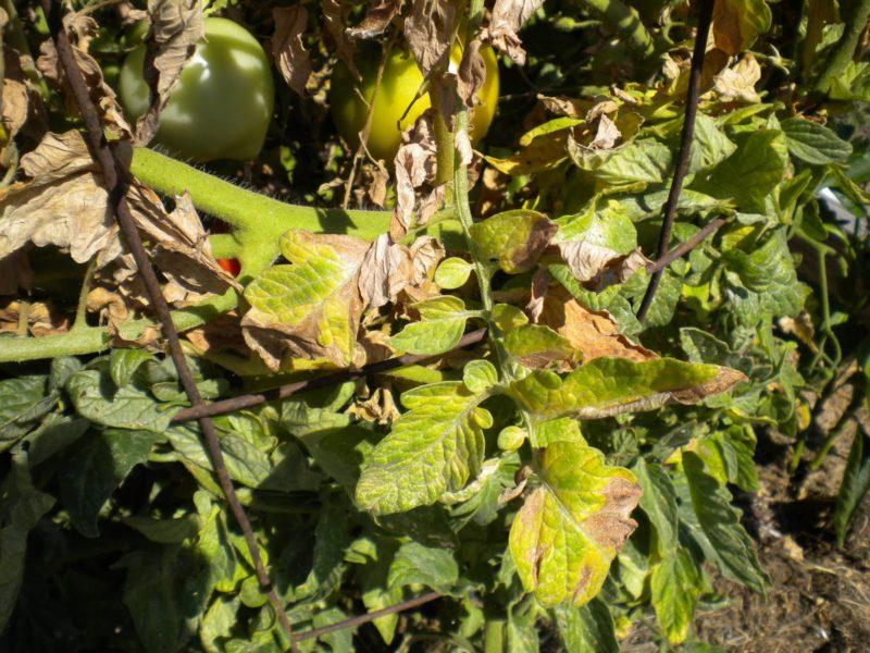 Що робити, якщо у помідорів жовтіють верхні або нижні листя
