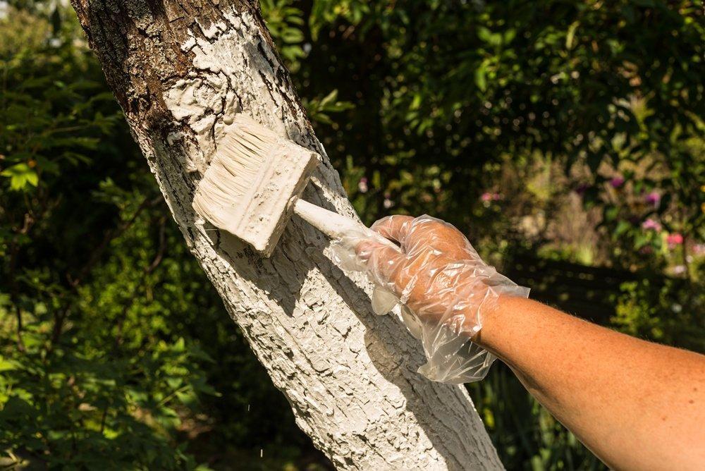 Як швидко позбутися моху і лишайника на плодових деревах