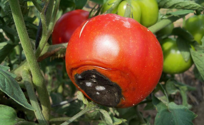 7 причин появи вершинної гнилі на помідорах