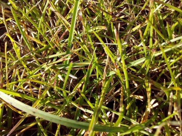 Хвороби газону: снігова цвіль, борошниста роса, іржа і червона нитка