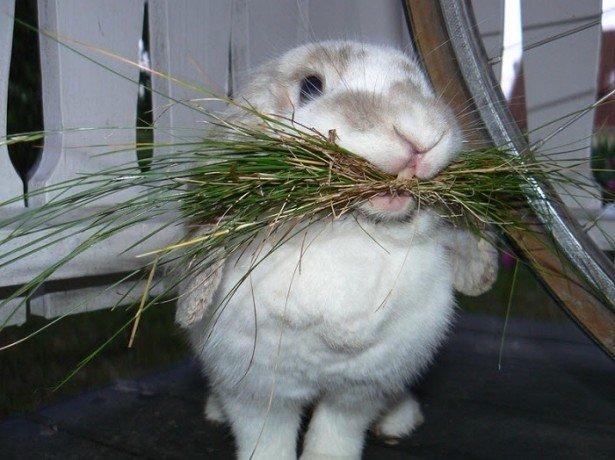 Чим можна і чим не можна годувати декоративних кроликів
