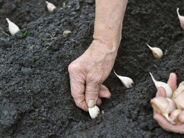 Основні хитрощі посадки часнику на зиму для отримання великого врожаю