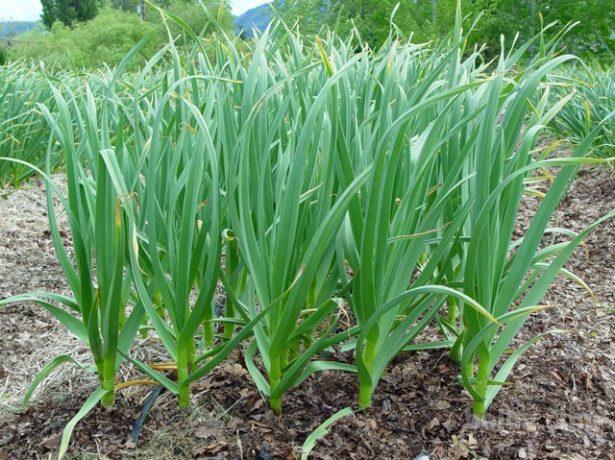 Добриво часнику влітку: чим підгодувати для гарного врожаю