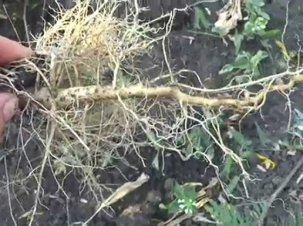 Що лікує корінь соняшнику, і як його правильно застосовувати?