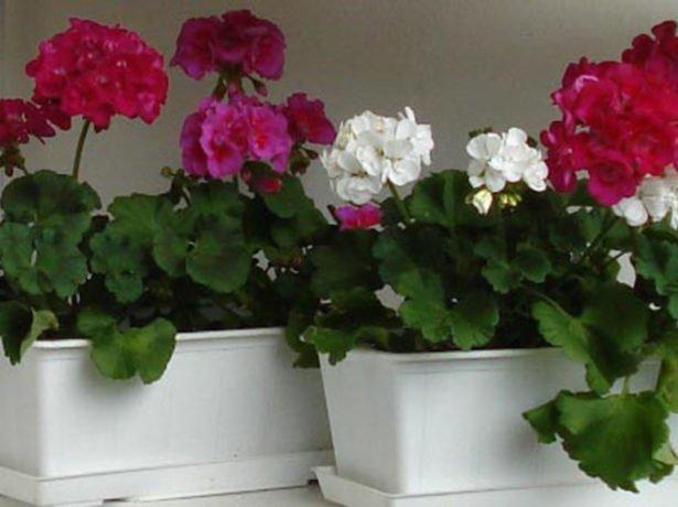 Чому не цвіте герань: причини і рішення