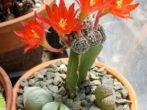 Все про розмноження кактусів