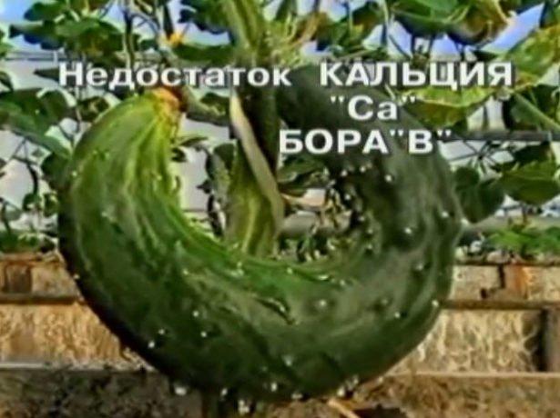 Китайське диво-урожайний сорт огірків для вашого городу