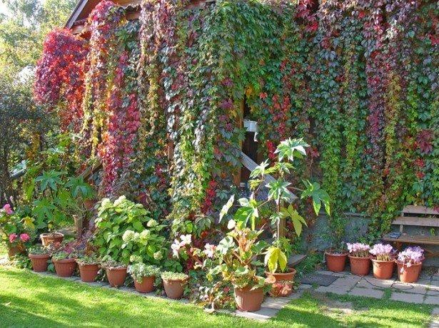 Дівочий виноград для озеленення ділянки-чим він хороший і як його вирощувати?