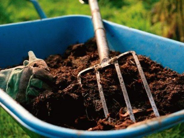 Чим підгодувати цибулю, щоб він виріс великим