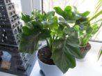 Як виростити філодендрон в домашніх умовах