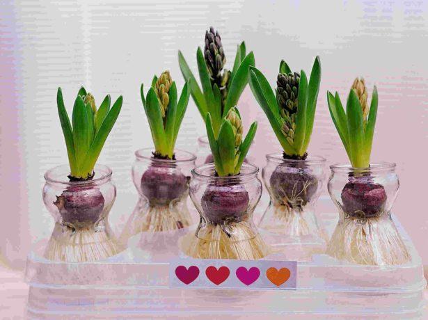 Гіацинт: розмноження і догляд за квіткою в домашніх умовах