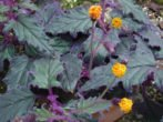 Гінура: як виростити пухнасту квітку в домашніх умовах