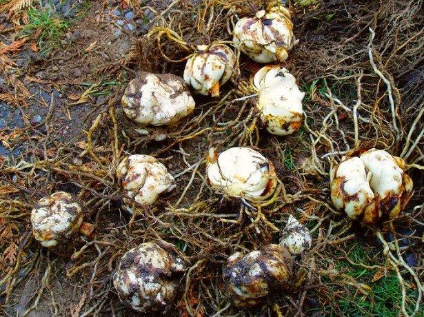 Зберігання цибулин лілії взимку: підготовка до зберігання і вибір відповідного місця