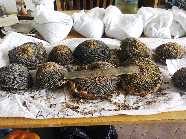 Зберігання насіння соняшнику з попереднім очищенням і сушінням