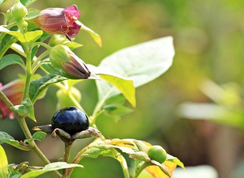 Обережно, отруйні ягоди: 7 назв, які потрібно знати напамять