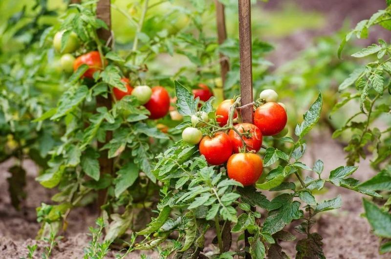 7 рослин, які я перестала садити з огірками і нарешті отримала відмінний урожай