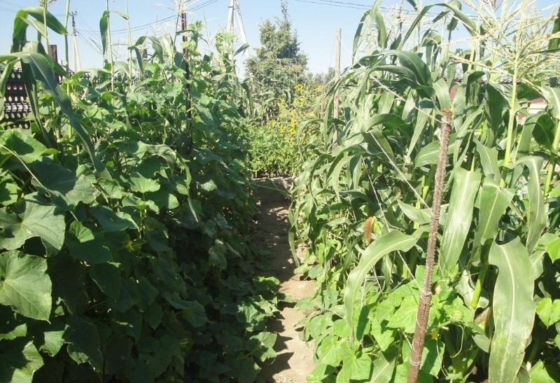 Батоги огірків направляю по кукурудзі, так урожай в два рази більше і підвязувати не треба