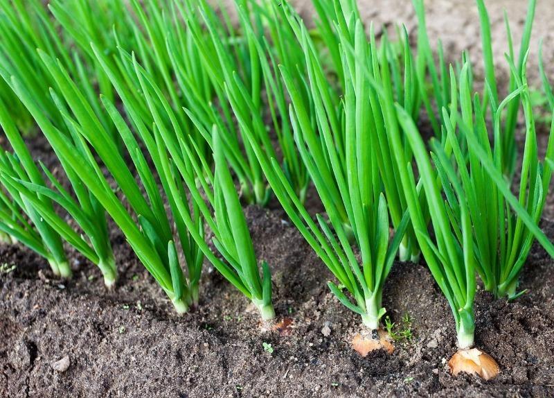 Що можна висаджувати в грунт в кінці березня, навіть якщо грунт ще не прогрілася