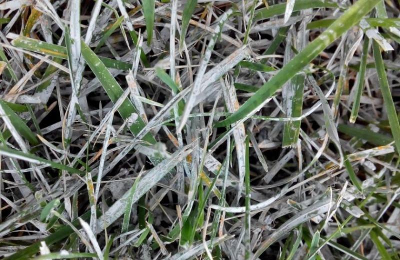 Як зрозуміти, яке грибкове захворювання вразило газон