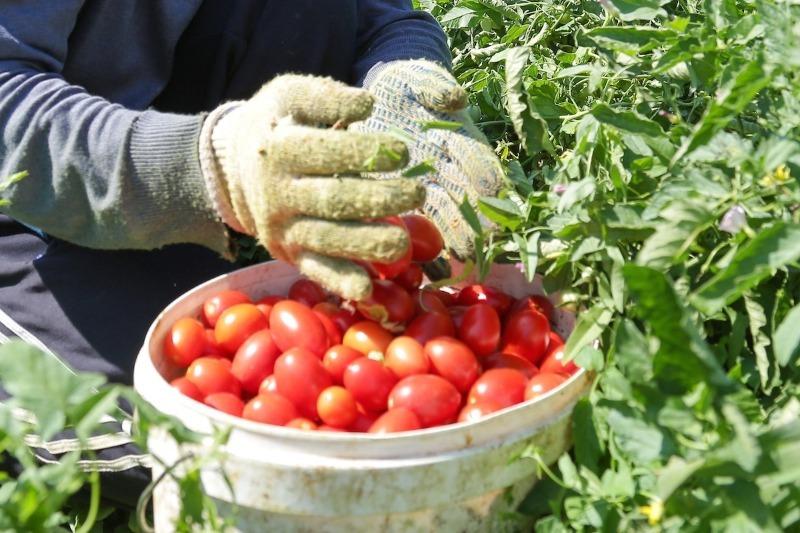 Як зберегти зібрані помідори свіжими і міцними надовго