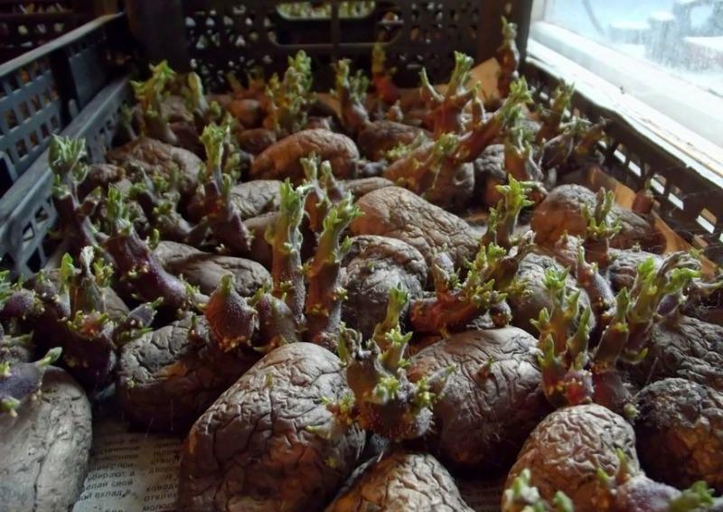 5 помилок вирощування картоплі, через які урожай з кожним роком все гірше