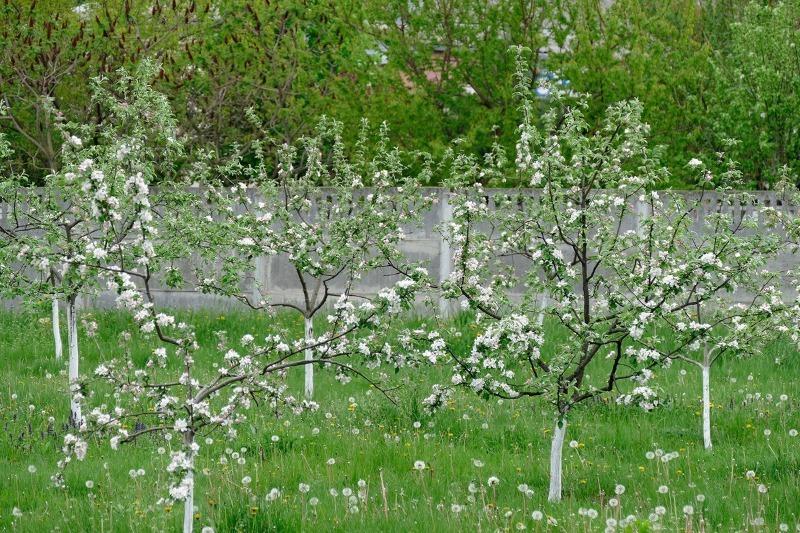Підгодовую і поливаю яблуню за методом бабусі, тепер гілки гнуться від врожаю