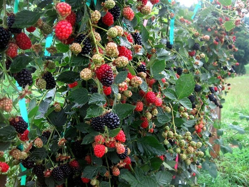 Які плодові культури можна висаджувати на дачі, щоб зміцнити схили