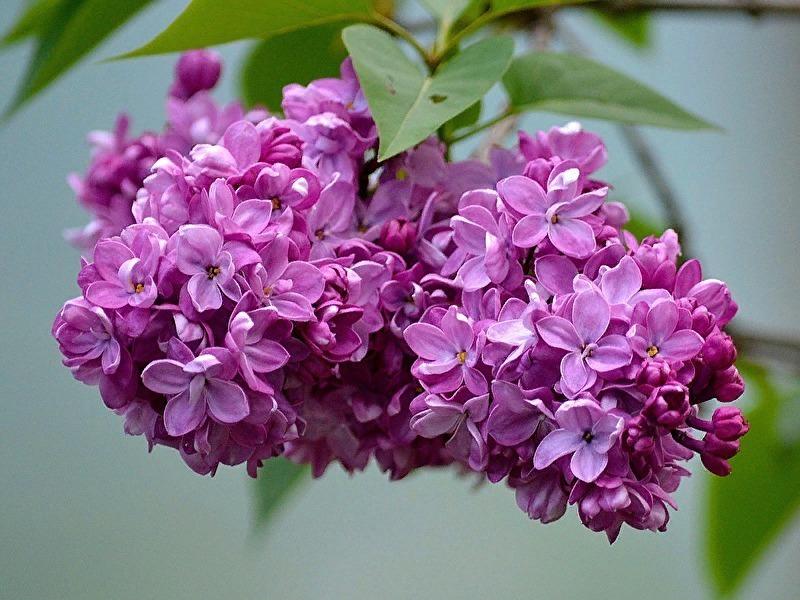 7 ароматно квітучих чагарників для саду, які зроблять вашу дачу справжнім раєм