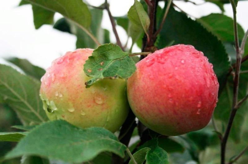 5 карликових яблунь, які зможе виростити навіть початківець садівник