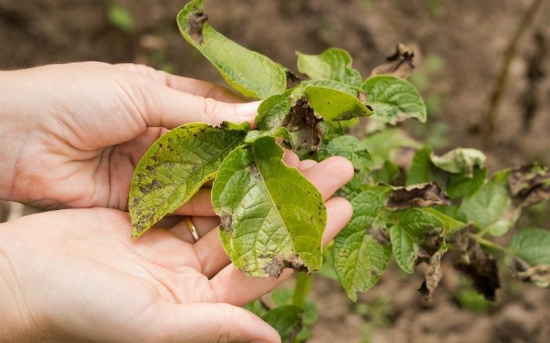 За порадою діда я стала садити кукурудзу серед картоплі і не можу натішитися