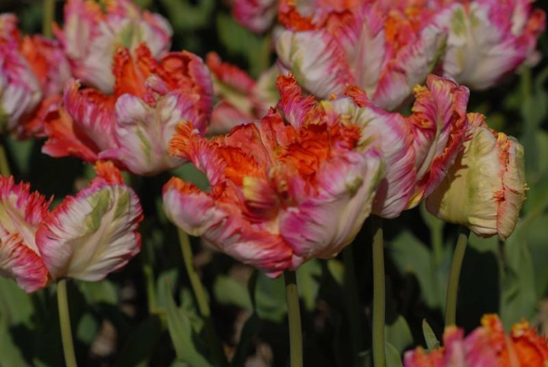 9 кращих сортів тюльпанів, які чудово підійдуть для домашнього вирощування