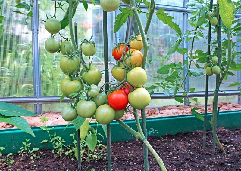 5 способів уберегти помідори від розтріскування