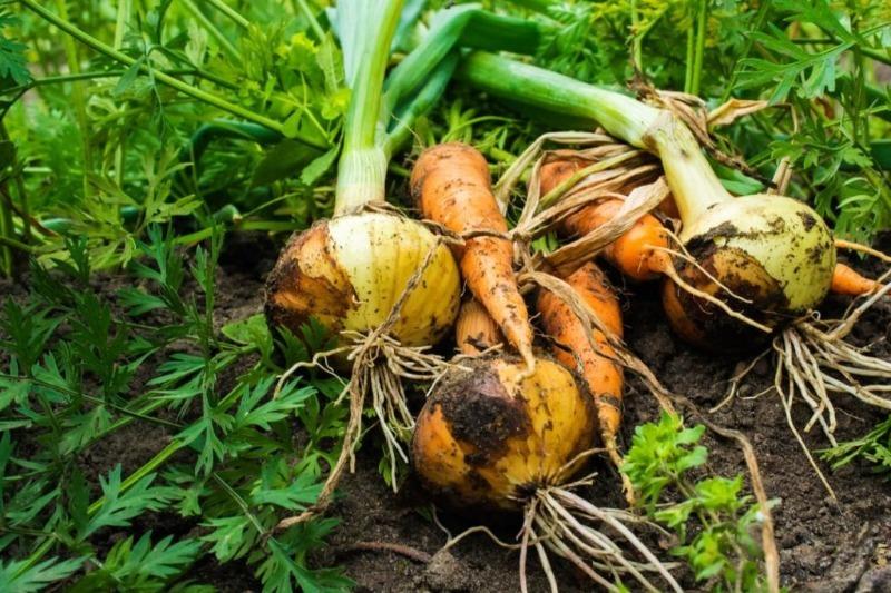4 вдалих поєднання посадки овочів, які позбавлять від шкідників і збільшать урожай