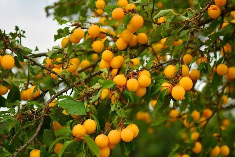 Невибагливий сад: плодово-ягідні культури, які не вимагають постійної турботи